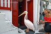 No Model Release, Pelican, Mascot of Mykonos, Looking for Food at the door of a Fish Shop, Island of Mykonos, Cyclade Islands, Aegean Sea, Greece