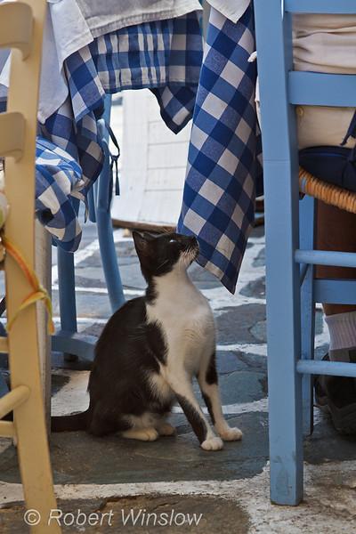 Cat begging for Food, Island of Mykonos, Cyclade Islands, Aegean Sea, Greece