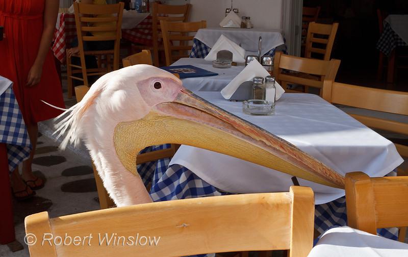 Pelican, Mascot of Mykonos, Looking for Food, Island of Mykonos, Cyclade Islands, Aegean Sea, Greece
