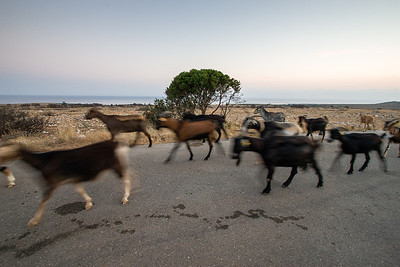 Goats returning home
