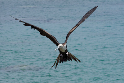 Frigate Birds at St George's Bay