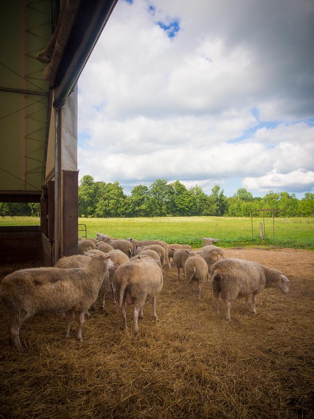 Wooldrift Sheep Dairy