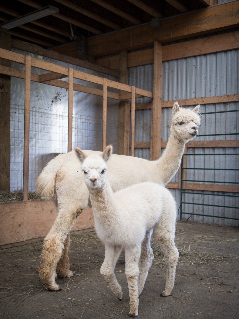 Visit the alpaca farm on an autumn color tour in Grey County.