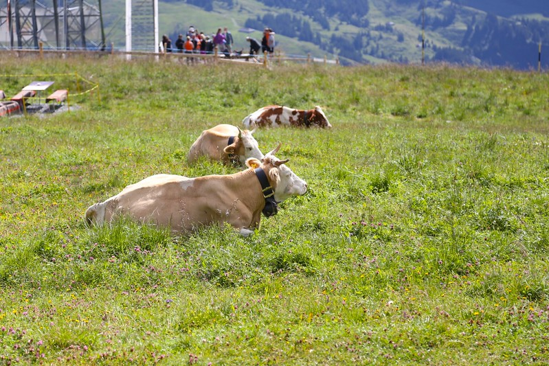 Happy cows, sweet milk, great cheese
