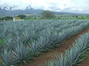 We took a day trip the first Saturday to the town of Tequila and a tour of the Cuervo distillery.<br /> This is an agave field at one of their farms.