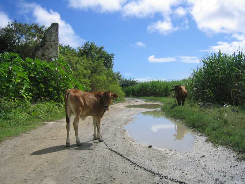 A cow in the road, somewhere on Grande Terre.