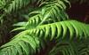 Everpresent ferns