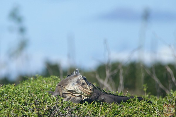 Iguanas of Petite Terre, Guadeloupe photo 2