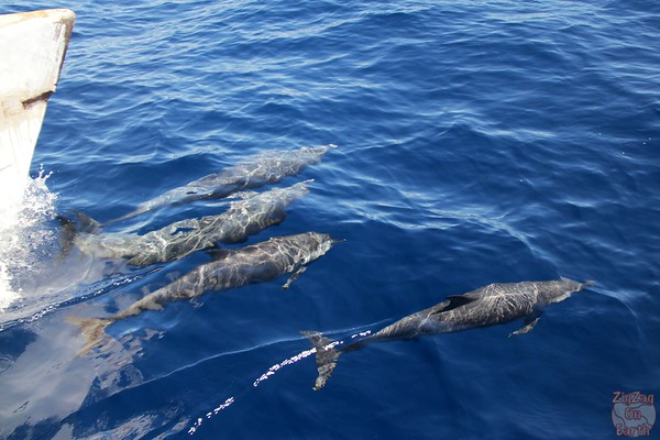 Dolphin pod guadeloupe islands 9