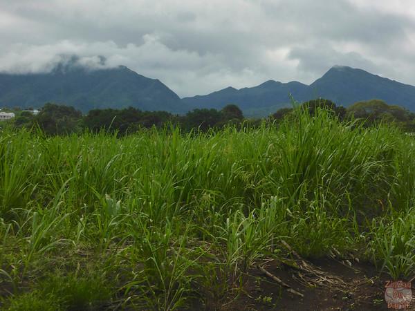 Longueteau rum plantation 2