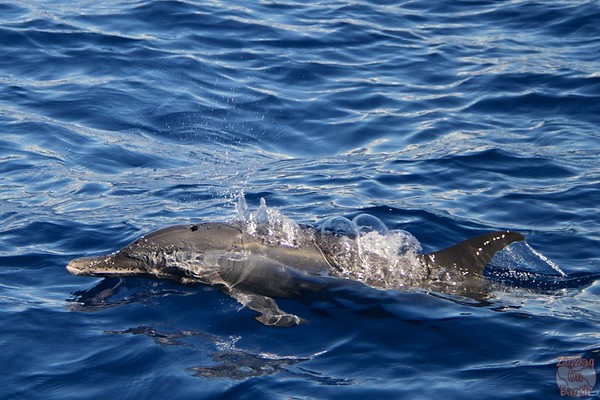 Dolphin pod guadeloupe islands 4