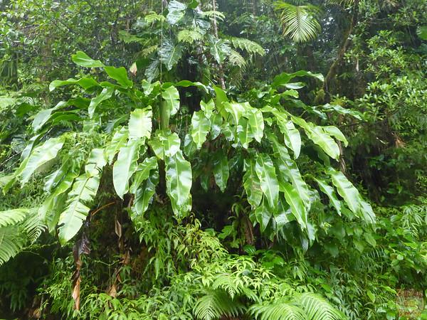 Leaves tropical forest guadeloupe island 4
