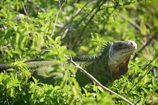 Iguanas of Petite Terre, Guadeloupe photo 1
