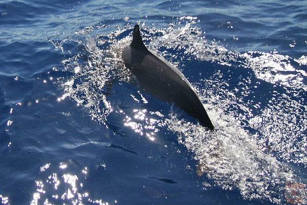 Dolphin pod guadeloupe islands 11