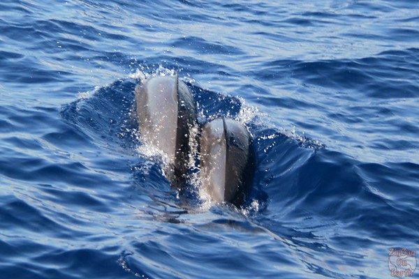 Dolphin pod guadeloupe islands 7