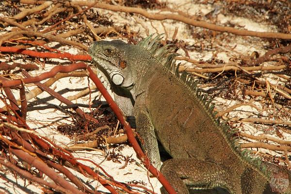 iguana La Caravelle, Guadeloupe photo 1