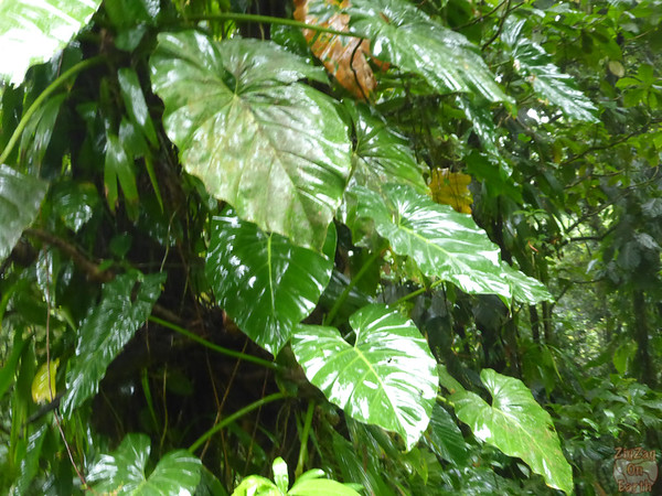 Leaves tropical forest guadeloupe island 2