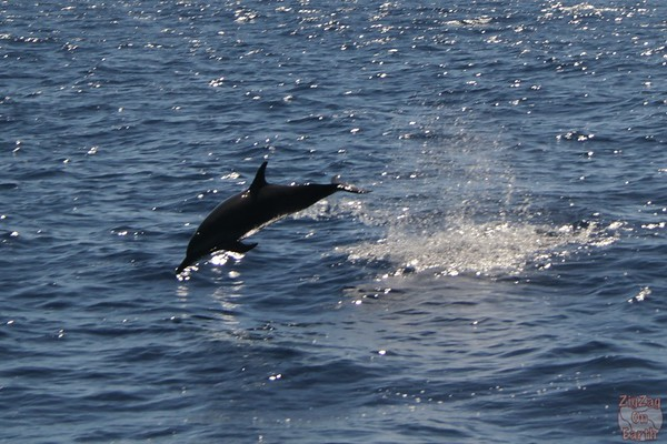 jumping dolphin guadeloupe 1