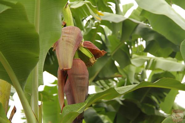 banana plant Guadeloupe