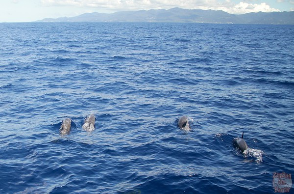 Dolphin pod guadeloupe islands 16