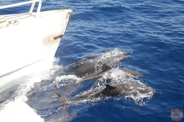 Dolphin pod guadeloupe islands 10