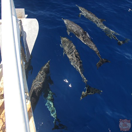 Dolphin pod guadeloupe islands 1