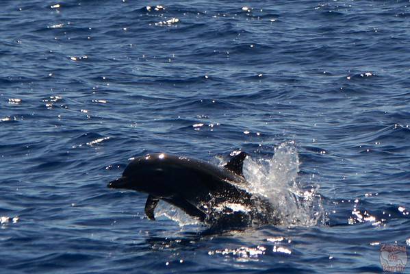 jumping dolphin guadeloupe 2