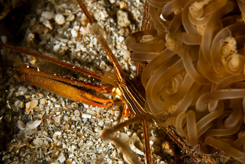 Arrow Crab and Anemone
