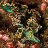 Sea Lettuce Nudibranch