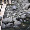 Turtles at Restaurante Ranchon Mary