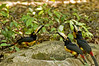 A group of Collared Aracari (Pteroglossus torquatus) Tucans at a water hole at the pre-Columbian Maya Site Tikal National Park, Guatemala, a UNESCO World Heritage Site