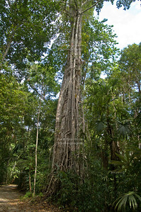 Liane covered tree in Tikal National Park, Guatemala