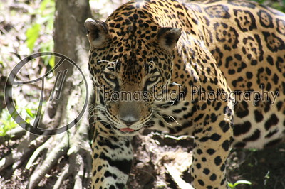 The jaguar has the strongest bite of all big cats, oftentimes simply biting through the skulls of their prey. His head was huge! And you could hear him breathe. He exuded power. Lake Peten Itza, Guatemala.