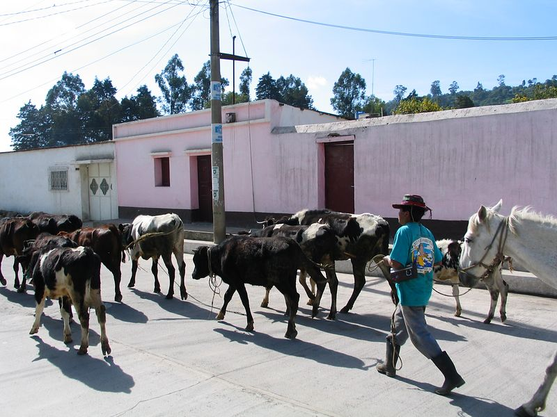 Cattle drive in the middle of town.
