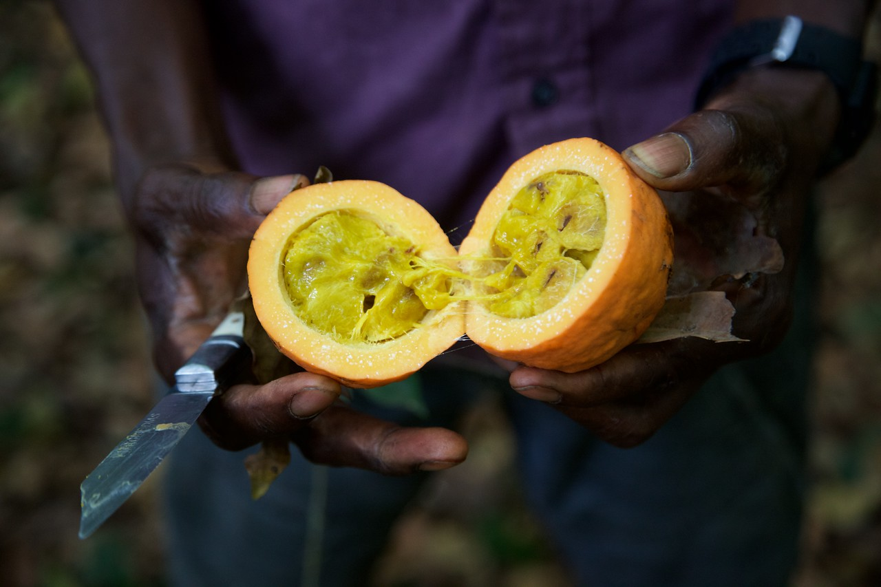 One of the fruits that chimpanzees and other primates eat in Cantanhez