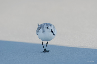 A Sanderling Walks the Line