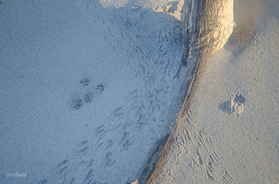 Paw Prints and Ghost Crab Tracks