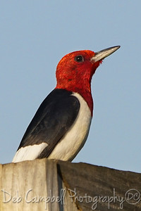Male Red Headed Woodpecker Ben Secour National Wildlife Refuge Gulf Shores, Alabama
