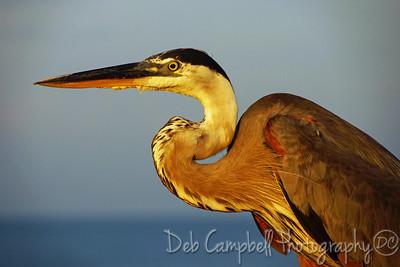Great Blue Heron at Sunrise/Gulf State Park Pier Gulf Shores, Alabama