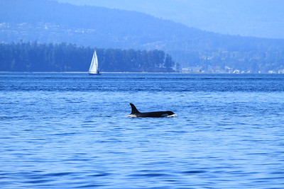An adult orca follows a run of salmon in the Haro Strait off Vancouver Island, BC, Canada