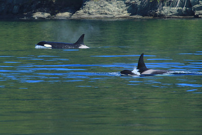 Two adult orcas and a baby navigate the waters of Haro Strait off Vancouver Island, BC, Canada as they follow a run of salmon north