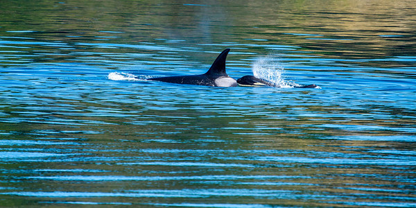 A baby orca whale (Orcinus orca) rides the back of its mother as she surfaces and the baby expels air through its blow spout. Mother orca is following a salmon run in the Haro Straits off Vancouver Island, BC in September 2013.