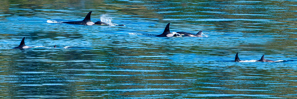 "Composite photograph of a mother orca surfacing with her baby on board who expels air from its spout and then resubmerges in the waters of the Haro Straits off Vancouver Island, BC in September 2013. This photograph has a long, narrow shape when printed, ideally 12"" x 36"" or a similar ratio."