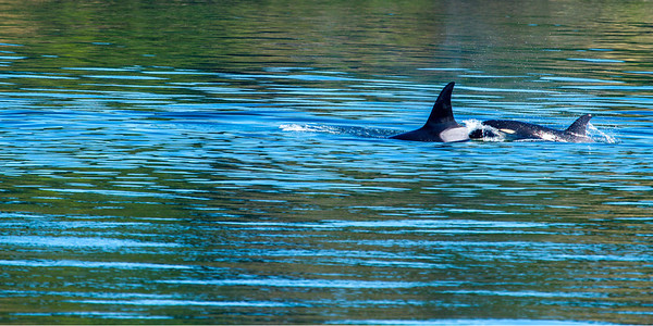 A baby orca whale (Orcinus orca) enjoys a ride on the back of its mother as she surfaces. Mother orca is following a salmon run in the Haro Straits off Vancouver Island, BC in September 2013.