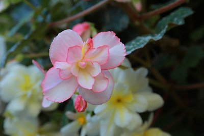 A lovely begonia at Butchart Gardens at Brentwood Bay on Vancouver Island, BC, Canada