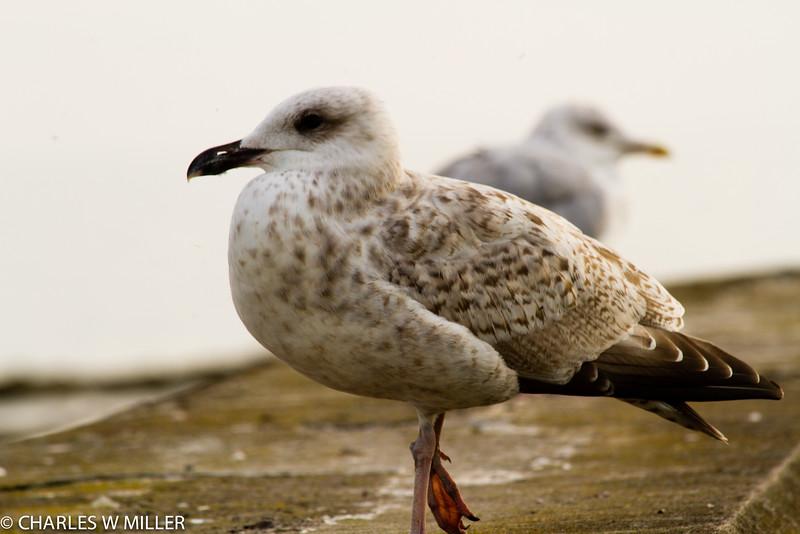 Portrait of a Troon sea gull