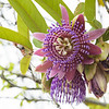 Passion Flower (Passiflora sp.)