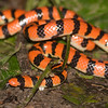 Coral Pipe Snake (Anilius scytale)