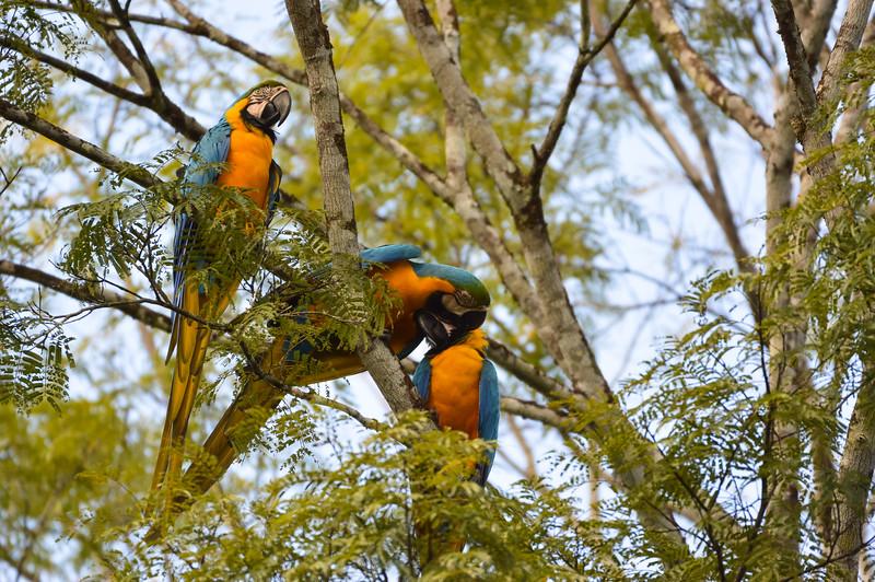 Blue-and-gold Macaws (Ara ararauna)