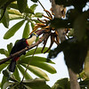Red-billed Toucan (Ramphastos tucanus)